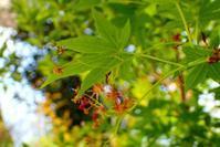 シリアゲアリと、モミジニタイケアブラムシ(尻上蟻と、紅葉二態毛油虫) - 世話要らずの庭