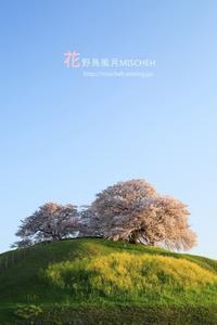 圧倒的桜。2017 - 花野鳥風月MISCHEH