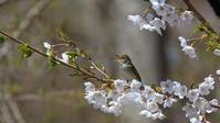 山中湖の夏鳥達 - Life with Birds 3