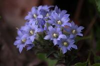 青い花コレクション - 子猫の迷い道Ⅱ