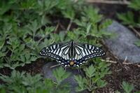 2017年5月1日栃木県シルビアシジミ - 春ちゃんのメモ蝶3