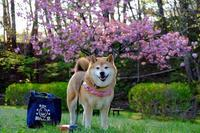 ポンポン桜とコロポン - 写心食堂