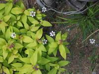 庭(4/30-5/1) - 3色猫だんご+1