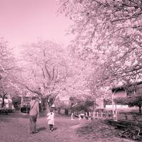 2017年5月7日満開の桜を愛でる父娘 - Silver Oblivion