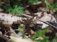 ミヤマセセリとヒオドシチョウ - コーヒー党の野鳥と自然 パート2