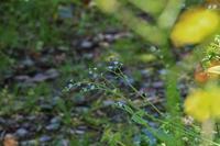 庭の小宇宙≪キュウリグサ≫ - そよ風のつぶやき