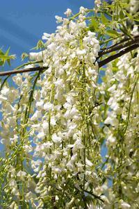花盛りです - 武蔵野散歩Ⅱ