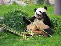 パンダの展示が変わっています! - さして意味なし、面白くもなし