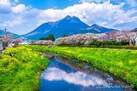 桜旅〜湯布院 - 撃沈風景写真