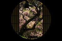 花海棠咲く雲龍院(泉涌寺塔頭) - 花景色-K.W.C. PhotoBlog