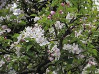 リンゴの花咲く  '17 - 晴れときどき菜園 -イギリスの小さな村の小さなallotmentからー