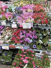 藤田八束のガーデニング@ホームセンターには色とりどりのお花がいっぱい・・・可愛い花が勢ぞろい - 藤田八束の日記