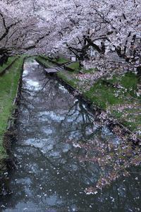 川越 新河岸川の桜並木 誉桜 3 - photograph3
