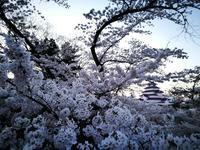 鶴ヶ城の桜5@福島県会津若松市 - 963-7837