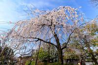 京都の桜2017 上品蓮台寺の春 - 花景色-K.W.C. PhotoBlog