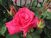 咲き始めた庭の薔薇 - 春&ナナと庭の薔薇
