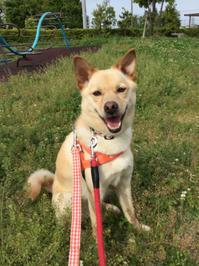 お散歩 with 女王さま - 琉球犬mix白トゥラーのピカ
