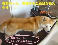 春菜ちゃんシャンプーしました♪ - もももの部屋(家族を待っている保護犬たちと我家の愛犬のブログです)