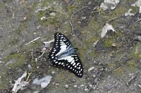 ミカドアゲハ(2017/05/04) - Sky Palace -butterfly garden- II
