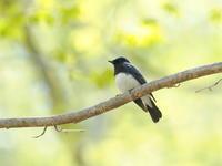 陽光の中のオオルリ - コーヒー党の野鳥と自然 パート2