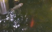 アカハライモリ&「朝焼けの水田2017」制作過程(後半) - ポッと出っスけど杉山ひとみ/水彩画ブログ