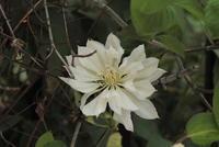 Clematis patens var. monstrosa f. alba 'Yukiokoshi' - PlantsCade -2nd effort