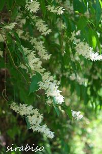 卯の花 - 小さな森の写真館 (a small forest story)