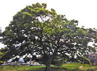 なかなかステキ!な木でしょう!!? - 太田 バンビの SCRAP BOOK