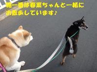 咲助くん、心機一転ご家族募集します!! - もももの部屋(怖がりで攻撃性の高い秋田犬のタイガ、老犬雑種のベスの共同生活&保護活動の記録です・・・時々お空のモカも登場!)