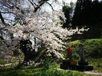 GW4/30是哉寺の地蔵桜@福島県田村市 - 963-7837