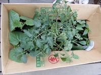 野菜苗を植え付けました。 - あいやばばライフ