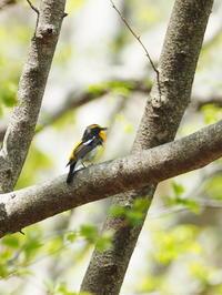 緑陰のキビタキ - コーヒー党の野鳥と自然 パート2