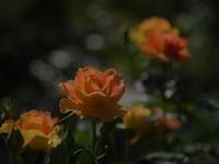 薔薇の香りに包まれて! - 休日登山日記