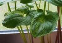 斑入り植物の新葉がきれい。 - 出町隠居のブログ