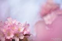 桜の季節 - へたぴ~光画館