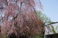 北大構内の桜 - お茶にしませんか