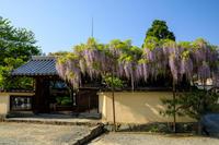 當麻寺塔頭・宗胤院の藤と千佛院のサクラソウ - 花景色-K.W.C. PhotoBlog