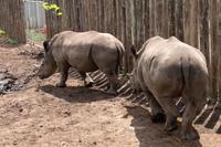 事件後、南アフリカのサイ孤児施設の閉鎖決定 - 親愛なる犀たちへ