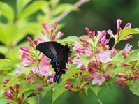 里山のタニウツギに集まるチョウたち - 蝶超天国