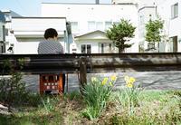 木陰と水仙の写真とソメイヨシノとエゾヤマザクラ - 照片画廊