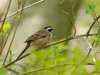 県民の森のホオジロ - コーヒー党の野鳥と自然 パート2