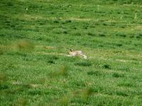 エゾユキウサギ - えんがる(遠軽)で見た