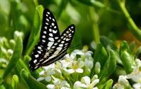 ゴールデンウィーク最終日 - 紀州里山の蝶たち