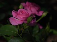 薔薇の香りに包まれて!② - 休日登山日記