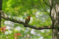 画眉鳥(ガビ~ン鳥) - 自転車乗って、写真を撮ってxxx