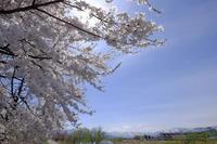 六日町の桜 - 雪譜らgo!  by 雪国親父