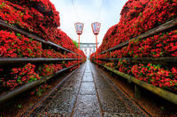 長岡天満宮のキリシマツツジ - 花景色-K.W.C. PhotoBlog