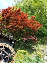 秩父銘仙館レポ-やっと芝桜(笑)ー4 - 色、いろいろ