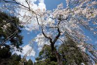 下から見上げた桜☆彡 - DAIGOの記憶