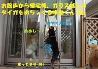 押され気味・・・(笑) - もももの部屋(怖がりで攻撃性の高い秋田犬のタイガ、老犬雑種のベスの共同生活&保護活動の記録です・・・時々お空のモカも登場!)